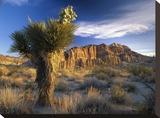 Joshua Tree at Red Rock State Park  California