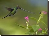 Sword-billed Hummingbird and insect  Ecuador