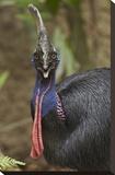 Southern Cassowary  Jurong Bird Park  Singapore