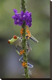 Red-eyed Tree Frog climbing on flower  Costa Rica