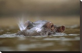 Hippopotamus breathing at water surface  Kenya