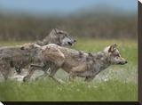 Gray Wolf pair running through water  North America