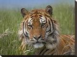 Siberian Tiger portrait  endangered  native to Siberia