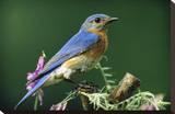 Eastern Bluebird male portrait  Ontario  Canada