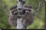 Raccoon two babies climbing tree  North America