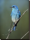 Mountain Bluebird perching on twig  North America
