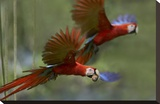 Scarlet Macaw pair flying with palm fruit  Costa Rica