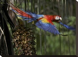 Scarlet Macaw flying with palm nut  Costa Rica