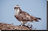 Osprey adult perching on nest  Baja California  Mexico
