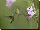 Sword-billed Hummingbird feeding on flower nectar  Ecuador