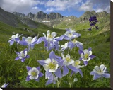 Colorado Blue Columbine meadow at American Basin  Colorado