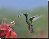 Green-breasted Mango hummingbird  male foraging  Costa Rica