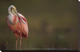 Roseate Spoonbill adult in breeding plumage  North America