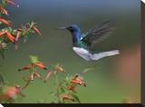 White-necked Jacobin hummingbird  male foraging  Costa Rica