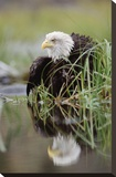 Bald Eagle with reflection at the edge of a lake  North America