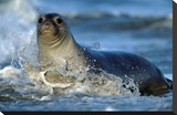 Northern Elephant Seal female in splashing surf  North America