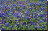 Hill Country wildflowers including Sand Bluebonnets and Paintbrush  Texas