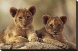 African Lion cubs resting on a rock  Hwange National Park  Zimbabwe  Africa