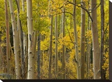 Aspen trees in autumn  Santa Fe National Forest near Santa Fe  New Mexico