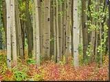 Aspen trees and Fireweed  Collegiate Peaks Wilderness Area  Colorado