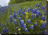 Bluebonnet and Texas Yellowstar meadow  Cedar Hill State Park  Texas