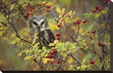 Northern Saw-whet Owl perching in a wild rose bush  British Columbia  Canada