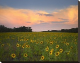 Common Sunflower field near Flint Hills National Wildlife Refuge  Kansas