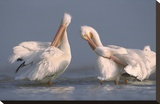 American White Pelican pair preening in shallow water  Texas Coast  Texas