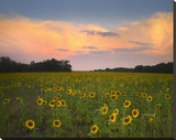 Common Sunflower field near Flint Hills National Wildlife Refuge  Kansas