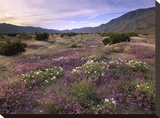 Sand Verbena and Primrose blooming  Anza-Borrego Desert State Park  California