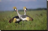 Grey Crowned Crane couple courting  Masai Mara National Reserve  Kenya