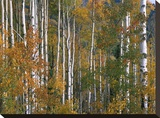 Aspen trees in fall colors  Lost Lake  Gunnison National Forest  Colorado