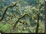 Mossy Oak trees at Eagle Creek  springtime  Columbia River Gorge  Oregon
