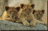 African Lion three cubs resting on a rock  Hwange National Park  Zimbabwe
