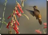 Broad-tailed Hummingbird feeding on flower nectar  Santa Fe  New Mexico