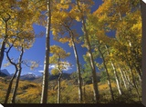Aspen in fall colors and Maroon Bells  Elk Mountains  Snowmass Wilderness  Colorado