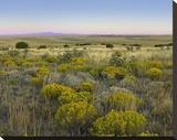Broomweed growing among prairie grasses  Apishapa State Wildlife Refuge  Colorado