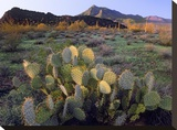 Beavertail Cactus with Picacho Mountain in the background  Pichaco Peak State Park  Arizona