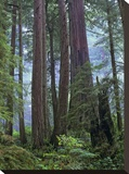 Old growth forest of Coast Redwood stand Del Norte Coast Redwoods State Park  California