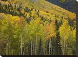 Aspen trees in autumn  Santa Fe National Forest near Santa Fe  New Mexico