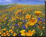 California Poppy and Desert Bluebell flowers  Antelope Valley  California