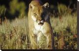 Mountain Lion or Cougar walking through tall grass towards camera  North America