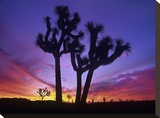 Joshua Trees at sunrise near Quail Springs  Joshua Tree National Park  California