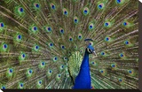 Indian Peafowl male with tail fanned out in courtship display  native to Asia