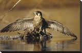 Peregrine Falcon adult in protective stance standing on downed duck  North America