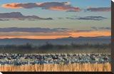 Snow Geese and Sandhill Cranes  Bosque del Apache National Wildlife Refuge  New Mexico