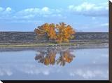 Cottonwood and Cranes  autumn foliage  Bosque del Apache National Wildlife Refuge  New Mexico