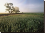 Oak trees shrouded in fog  Flint Hills  Kansas