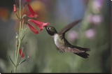 Broad-tailed Hummingbird feeding on the nectar of a Scarlet Bugler flower  New Mexico
