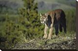 Mountain Lion walking across open ground  North America